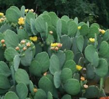 Spineless Prickly Pear Cactus, 2 Medium Size Pads, OPUNTIA CACANAPA 'ELLISIANA'