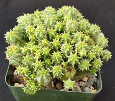 Euphorbia Monstrose Cactus Cacti Succulent Real Live Plant