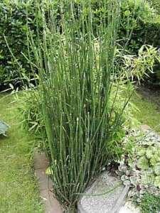 Winterschachtelhalm - Equisetum hyemale
