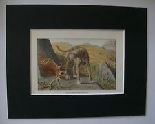 Scottish Deerhound Dog Print Louis Fuertes Colored Bookplate 1919 Matted 8x10