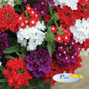 Verbena Hanging Basket Mix - Verbena x hybrida - Annual Flower Seeds