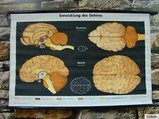 Nr.F7188 Lehrtafel - Entwicklung des Gehirns - Katze - Schautafel - Schultafel