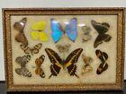 Vintage Real Butterfly Taxidermy Specimen Mid Century Art Display Specimens g