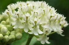 Swamp Milkweed Seeds - Creamy White - Asclepias - Gmo Free Perennial - 25 Seeds