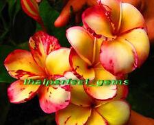 "WoW! Plumeria !/Plants/Flowers/""Top Angel""/Fresh 45 seeds"