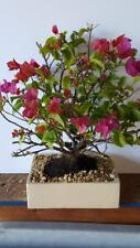 Amazing Bougainvillea Bonsai Tree Indoor Bonsai Large 10inch pot