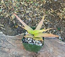 Beautiful A+ Aloe bulbillifera var. paulianae Nice Stemless Madagascan Aloe