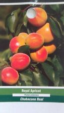 4'-5' live Royal Apricot Tree Healthy Fruit Trees Natural Plant New Home Garden
