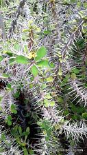 EUPHORBIA CROIZATII @j@ exotic rare succulent cactus cacti plant seed  -5 SEEDS