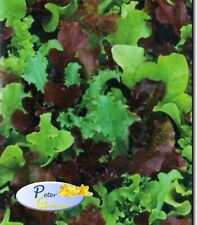 Seeds Lettuce Baby Vitamin MIX Organically Grown Salad Heirloom
