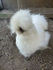 10+ Silkie Hatching Eggs (Hen's Choice, All Feather Types Possible)