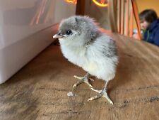 Easter Egger/ Ameraucana Hatching Eggs ( 6+ )