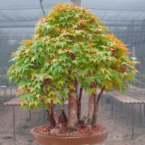 Acer elegantulum (Elegant Maple) 10 Tree Seeds | RARE Outdoor Bonsai Garden | UK