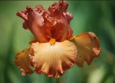 "1 Tall Bearded Iris ""Copper Classic""-Fragrant- Lg. Rhizome, size #1-Shipping Now"