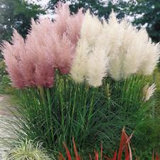 WHITE & PINK COMBO CORTADERIA SELLOANA PAMPAS GRASS W/POT PUMILA TALL DECORATIVE