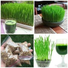 1 kg ⭐️TOP QUALITY⭐️Organic Wheat Seed, Juicing, Grinding, Cat Grass
