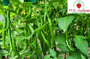 Sannam Chilli a Very Hot & Spicy Pepper Sustainably Grown in Australia 10 Seeds