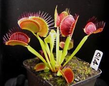 2 Adult Venus Flytraps(Fly Trap Carnivorous Plants) Dionaea Muscipula