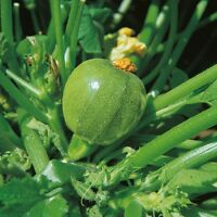 Vegetable - Courgette - Tondo di Nizza - 15 Seeds
