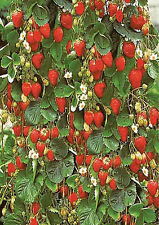 10+ Hanging Basket Strawberry Plant Seeds