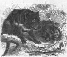 TASMANIAN DEVIL. Ursine Dasyure(Dasyurus Ursinus), antique print, 1861