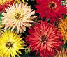 ZINNIA CACTUS MIX Zinnia Elegans - 1,000 Bulk Seeds