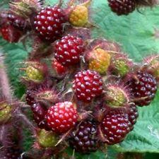 10x Rubus Japanese Wineberry plants Edible perennial wildlife habitat Fruit bush