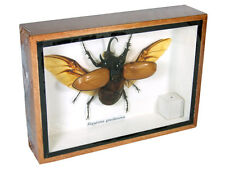 Eupatorus gracilicornis Real Butterfly Insect Taxidermy Display Framed Box gpasy