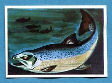 Figurina Panini-ANIMALI DI TUTTO IL MONDO 1965-n.277 - SALMONE -rec