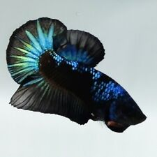 Live Betta Fish Black Blue Green Light Samurai HMPK Male from Indonesia Breeder
