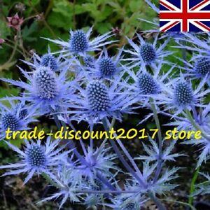 50 Seeds Eryngium Planum  Sea Holly Blue Hardy Perennial Flower Plant UK SELLER