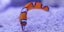Juv Red Coris Wrasse *Free Shipping* Live Saltwater reef Aquarium!
