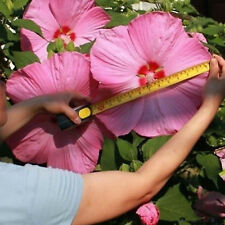 100Pcs Giant Hibiscus Flower Seeds Home Garden Outdoor Bonsai Mixed Colors h2