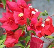 STAR FIRE Bougainvillea glabra climbing rosy-magenta plant in 140mm pot
