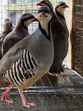 12+ Chuckar partsridge hatching egg