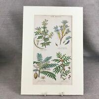 1858 Antik Botanische Aufdruck Arabisch Gum Pflanzen Blumen Original Handbemalt