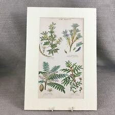 Antique Botanical Print Original Hand Coloured Arabic Gum Plants Flowers