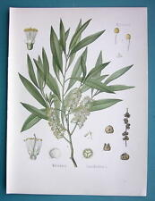 CAJUPUT OIL TREE Plant Melaleuca Leucadendron - Beautiful COLOR Botanical Print