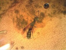 Cretaceous Burmite Amber Fossil RARE Ampulicidae Cockroach Wasp Insect MH26 1.4g