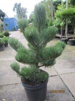 Schwarzkiefer Oregon Green - Pinus nigra Oregon Green
