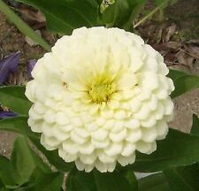 250 WHITE POLAR BEAR ZINNIA Elegans Double Flower Seeds + Gift