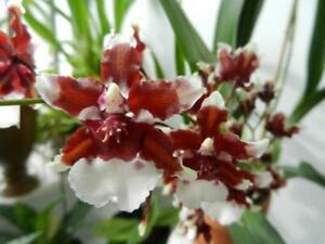 Orchid Oncidium .Heaven Scent 'Redolence'