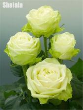 100pcs Midnight Supreme Rose Seeds Rare Color Beautiful Diy Home Garden Flower