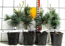"Pinus parviflora ""Negishi""   -   Mädchenkiefer,  vered.Sorte"