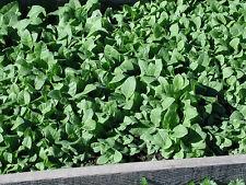 New listing Turkish Shirazi Tobacco - 100 Seeds