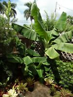 Dwarf Banana Tree One Tropical plant ***Bananas and offshoots forever!***