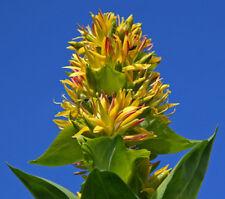 100 Samen Gelber Enzian (Gentiana lutea), seltene Pflanze, Rarität, Heilpflanze