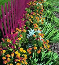 Marigold French Dwarf Double Mixed Colors 50 Seeds Hummingbirds! Butterflies!
