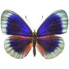 One Real Butterfly Blue Green Asterope Degandii Unmounted Wings Closed