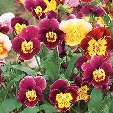 Viola Cornuta (Viola Cornuta Large-flowered)  Bambini Mix - 50 seeds